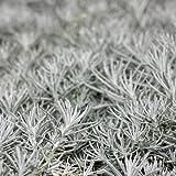 Currykraut - Helichrysum italicum - Kräuterpflanze