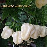 SEMILLAS HABANERO CHOCOLAT & HABANERO WHITE GIANT