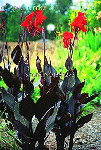 Galleria fotografica SwansGreen Brown: 10 pezzi Canna Semi Beautiful Flower Seed Mix Indica Lily piante da giardino Bulbi Fiori all'aperto in vaso bonsai Flores regalo a casa