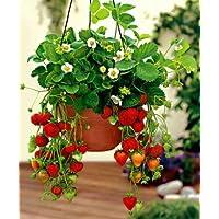 Puspita Nursery Strawberry Live Plant Produce Sweet & Juicy Fruit