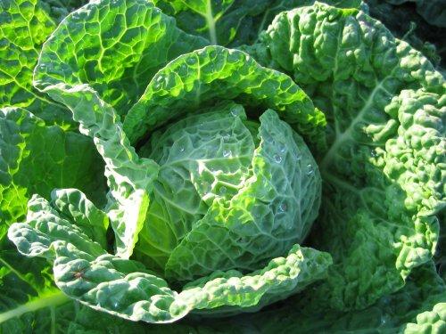 Wirsingkohl - Wirsing - Vertus 2 - 200 Samen