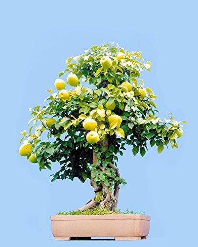 livraison-gratuite-10-pc-mini-pot-de-poire-semences-darbres-chinois-plantes-fruitieres-de-haute-qual