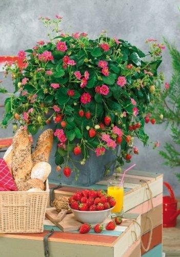 TROPICA - Topf-Erdbeere -Toscana F 1 ( Fragaria vesca ) - 7 vorgekeimte Samen