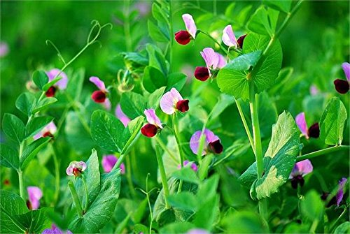 NEW Süße Erbsensamen, Gartenerbsensamen, Gemüsesamen Pisum sativum Linn, etwa 20 Teilchen