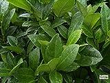 Prunus laurocerasus Piri - Zwerg-Lorbeerkirsche Piri -