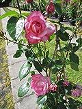 Kletterrose Harlekin® - Rosa Harlekin® - cremeweiß-rot - Duft+++ Kordes-Rose
