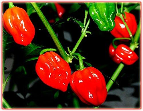 25-seeds-scotch-bonnet-seeds-red-hot-chilli-pepper-25-seeds-very-hot-chillies