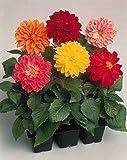 Flower Seeds : Dahlia Variabillis Top Star Beauty Mix Planting Seeds Garden [Home Garden Seeds Eco Pack] Plant Seeds By Creative Farmer