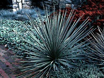 Farmerly 25 + Soapweep Yucca Seeds (Yucca Glauca) Ornamental Shrub Combsh I83
