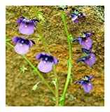 SANHOC Samen-Paket: Diascia veronicoides - Elfensporn - 10 SeedsSEED