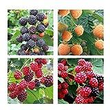 Portal Cool B: 50Pcs framboise Graines de fruits Graines Rouge Jaune Noir framboise Graines Pour Hom...
