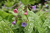 5 Samen Lungenkraut pulmonaria Officinalis