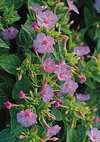 Pase Seeds Mirabilis Four O Clock Tea Time Rose Pink Annual Seeds -