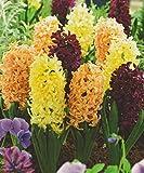 12 Hyazinthen gemischt rot,gelb und orange duftend Blumenzwiebeln