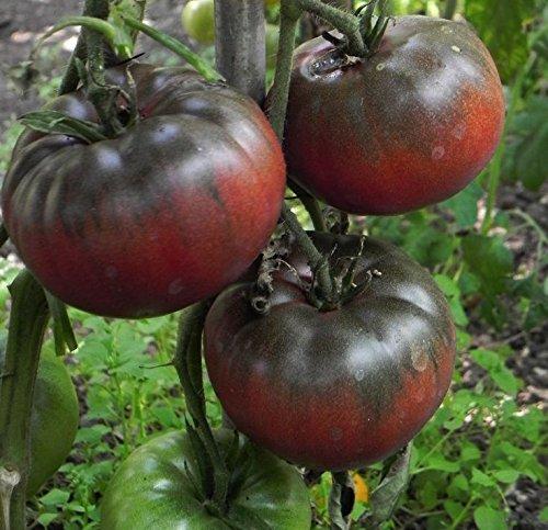 Liveseeds - Schwarze Tomaten mit hohem Zuckergehalt - 20 Samen - Resistent Krankheiten Gegen Tomaten-samen, Die