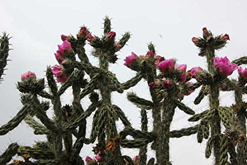 1 Pflanze Cylindropuntie imbricata / Feigenkaktus im 15cm Topf 20-30cm
