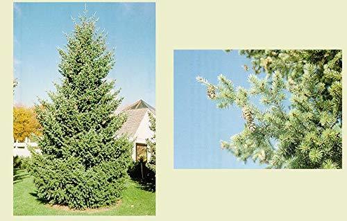PLAT FIRM GERMINATIONSAMEN: Douglasie. 200 Samen. Bäume, Samen