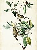 Artland Qualitätsbilder I Bild auf Leinwand Leinwandbilder Wandbilder 45 x 60 cm Tiere Vögel Illustration Creme C2KH Sängervireo