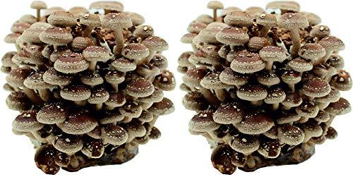 Shiitake Bio Pilzzuchtkultur - im Doppelpack, Bio zertifiziert