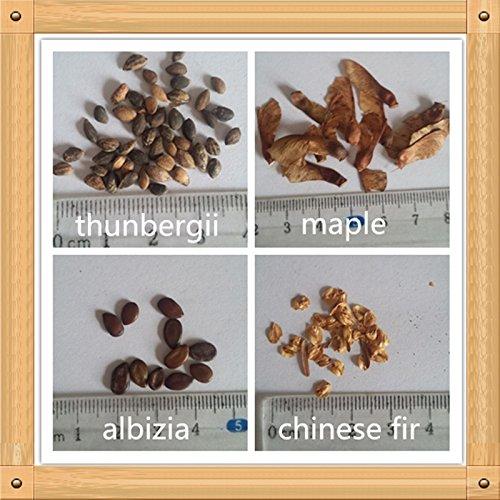 Avancée Fleurs-Thunbergii, l'érable rouge, Albizia, 130PC Mini graines de plantes bonsaï de sapin chinois