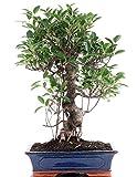 Bonsai - Ficus microcarpa (retusa), Chinesische Feige 196/19