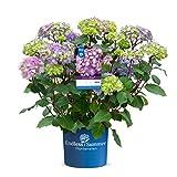 Endless Summer 'BloomStar' Hortensie lila , der knallige Stern am Hortensienhimmel , winterhart , mehrjährig , Pflanze für Garten, Terrasse, Balkon oder Kübel