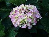Bauernhortensie Bouquet Rose - Hydrangea macrophylla Bouquet Rose - Gartenhortensie
