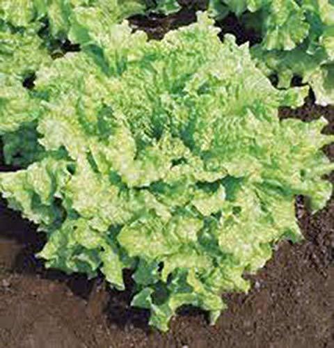 PLAT FIRM GRAINES DE GERMINATION: SEMENCES DE LAITUE, Blattsalat, SIMPSON BS, Heirloom, NON OGM, BIO, 500 graines