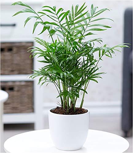 BALDUR-Garten Chamaedorea Palme, 1 Pflanze Bergpalme Zimmerpalme