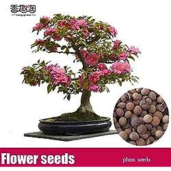 Portal Cool 5 Stück Schöne Plum Blossom ume Samen Zier chinesischen Pflaumenbaum-Samen