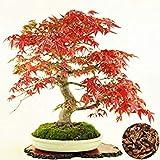 Vista 100% echte Acer Palmatum 'Atropurpureum' Samen 20 Teile/paket Japanische Rote Ahorn Samen Bonsai Balkon Pflanzen Für Hausgarten