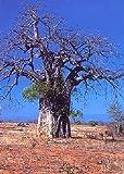 TROPICA - Baobab (Adansonia digitata) - 6 semillas- África