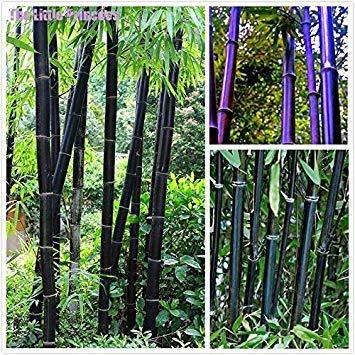 Homely Vert: 50 graines de bambou rares géant noir moso bambou bambou graines professionnel pack graines de l'arbre Bambusa Lako pour jardin à la maison vert