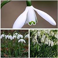 Humphreys Garden® Snowdrop Single x 20 Bulbs Size 4/5