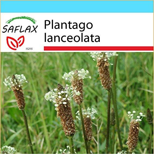 SAFLAX - Geschenk Set - Heilpflanzen - Spitzwegerich - 100 Samen - Plantago lanceolata