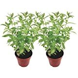 Zitronenverbene (2 Pflanzen)| frische Pflanzen im 12 cm Topf | kräftige Kräuterpflanzen in bester Gärtnerqualität