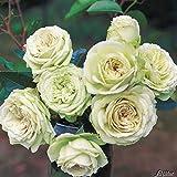 Rose 'Lovely Green' - Beetrose cremeweiß-grünliche Blüten - Weiß-grüne Rose Pflanze Winterhart Halbschattig gesundes Laub - von Garten Schlüter - Pflanzen in Top Qualität