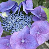 Tellerhortensie 'Blue Bird'