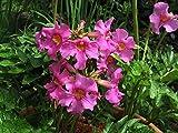 Blumensamen Chinesische Trompete Blume Perennial
