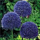 KINGDUO 100 Pcs Jardin Extérieur Géant Allium Giganteum Belle Fleur Graines Bonsai Plante Des Graines-2