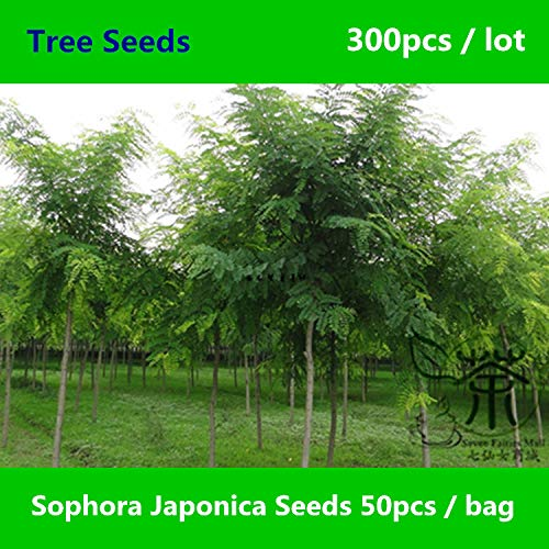 Shopmeeko Sehr beliebt Sophora Japonica ^^^^ 300pcs, weit verbreiteter japanischer Pagodenbaum ^^^^, chinesischer Gelehrter-Baum Huai Hua Mi ^^^^