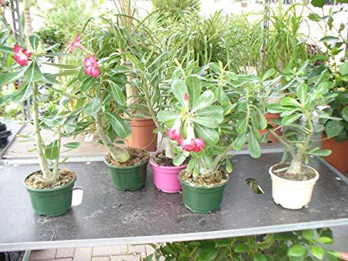 Adenium obesum, Wüstenrose, Hundsgiftgewächs, eine schoene Pflanze - Schöne Pflanzen