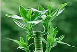 100 semillas / bag, semillas de bambú de la suerte, en maceta Balcón, Plantar es simple, de florecimiento tipo del 95%, absorción de la radiación, los colores mezclados