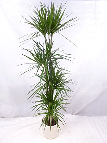 [Palmenlager] - Dracaena marginata 190 cm/5er(!) Tuff//Drachenbaum