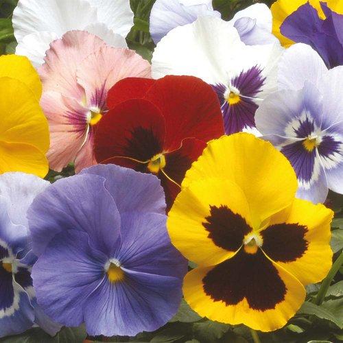 pansy-winter-flowering-hiemalis-mixed-250-seeds