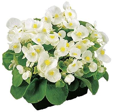 """Eisbegonie Begonia semperflorens """"grünlaubig weiß"""" Pflanze im 9er Topf 6er Set von Gartenbau Friedrich auf Du und dein Garten"""