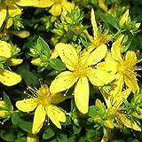 100 semi di San Giovanni mosto (Stregona candida Lanata) Herb Deer Resistente