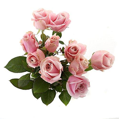 Choice of Green - 1 bouquet Avalanche rose petite rose - 10 tiges - Hauteur ? 60 cm - Qualité