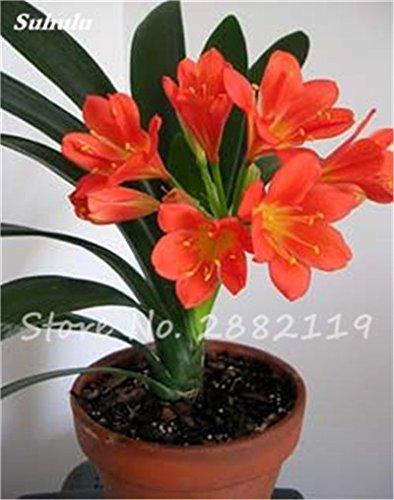 Galleria fotografica 100 Pz misti Clivia semi, perenne fiore Pianta in vaso, colore multiplo scegliere, balcone pianta bonsai del fiore Per Garden Decor 8
