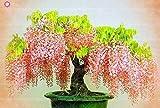 Virtue 10 stücke Wisteria baum bonsai schöne Glyzinien blume mehrjährige innen oder außen blühende topfpflanzen für hausgarten anlage: 4